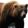Pragmatic Bear