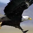 Humble Eagles