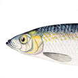 Herring Research Group